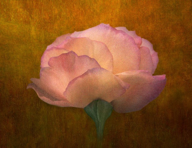 Painterly Rose Study
